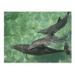 Bottlenose Dolphins Tursiops truncatus) 16 Postcard