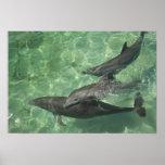 Bottlenose Dolphins Tursiops truncatus) 16 Print