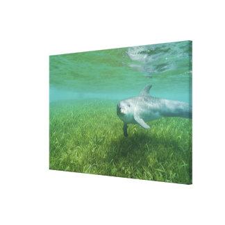Bottlenose Dolphins Tursiops truncatus) 17 Canvas Print