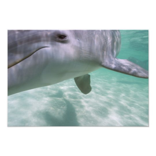 Bottlenose Dolphins Tursiops truncatus) 17 Photo Print