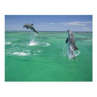 Bottlenose Dolphins Tursiops truncatus) 17 Postcard