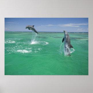 Bottlenose Dolphins Tursiops truncatus) 17 Poster