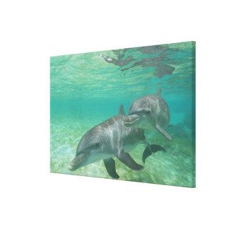 Bottlenose Dolphins Tursiops truncatus) 18 Canvas Print
