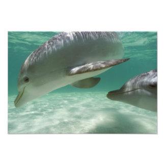 Bottlenose Dolphins Tursiops truncatus) 18 Photo Print