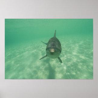 Bottlenose Dolphins Tursiops truncatus) 18 Poster