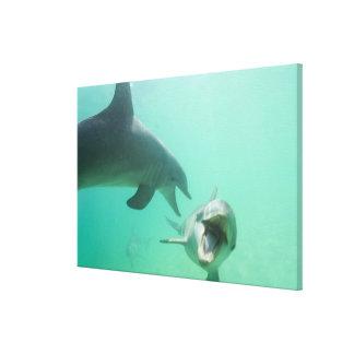 Bottlenose Dolphins Tursiops truncatus) 20 Canvas Print
