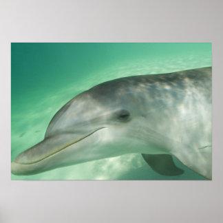 Bottlenose Dolphins Tursiops truncatus) 20 Poster