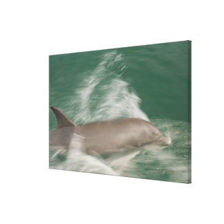 Bottlenose Dolphins Tursiops truncatus) 21 Canvas Print