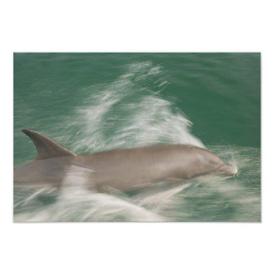Bottlenose Dolphins Tursiops truncatus) 21 Photo Print