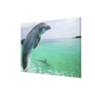 Bottlenose Dolphins Tursiops truncatus) 22 Canvas Print