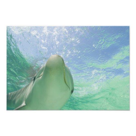 Bottlenose Dolphins Tursiops truncatus) 22 Photo Print