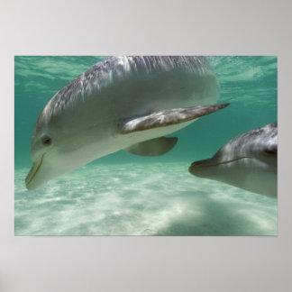 Bottlenose Dolphins Tursiops truncatus) 22 Posters