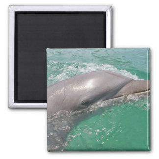 Bottlenose Dolphins Tursiops truncatus 23 Fridge Magnet