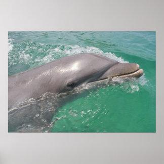 Bottlenose Dolphins Tursiops truncatus) 23 Poster