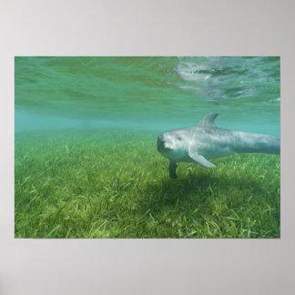 Bottlenose Dolphins Tursiops truncatus) 24 Poster