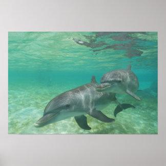 Bottlenose Dolphins Tursiops truncatus) 25 Poster