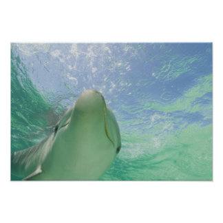 Bottlenose Dolphins Tursiops truncatus) 26 Poster