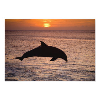 Bottlenose Dolphins Tursiops truncatus) 27 Photo Print