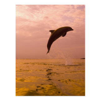 Bottlenose Dolphins (Tursiops truncatus) 2 Postcard
