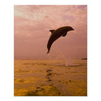 Bottlenose Dolphins (Tursiops truncatus) 2 Poster