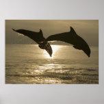 Bottlenose Dolphins Tursiops truncatus) 30 Print