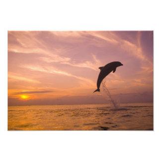 Bottlenose Dolphins Tursiops truncatus) 3 Photo Print