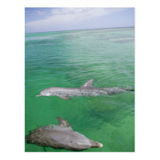 Bottlenose Dolphins Tursiops truncatus) 3 Postcard