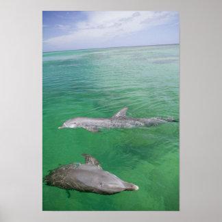 Bottlenose Dolphins Tursiops truncatus) 3 Poster
