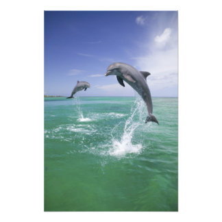 Bottlenose Dolphins Tursiops truncatus) 4 Photo Print