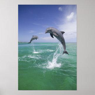 Bottlenose Dolphins Tursiops truncatus) 4 Poster