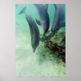 Bottlenose Dolphins Tursiops truncatus) 5 Poster