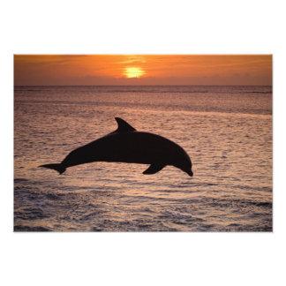 Bottlenose Dolphins Tursiops truncatus) 6 Photo Print