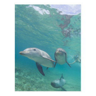 Bottlenose Dolphins Tursiops truncatus) 6 Postcard
