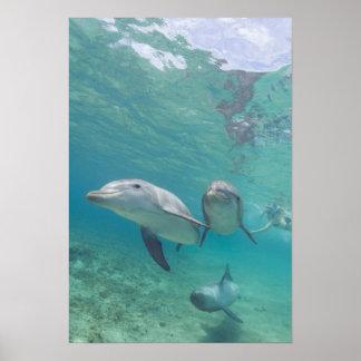 Bottlenose Dolphins Tursiops truncatus) 6 Poster
