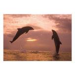 Bottlenose Dolphins Tursiops truncatus) 7 Photo Print