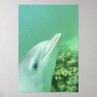 Bottlenose Dolphins Tursiops truncatus) 7 Poster