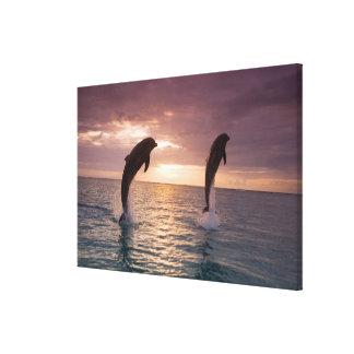 Bottlenose Dolphins Tursiops truncatus) 8 Canvas Print