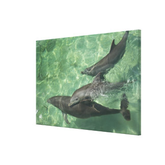 Bottlenose Dolphins Tursiops truncatus) 9 Canvas Print