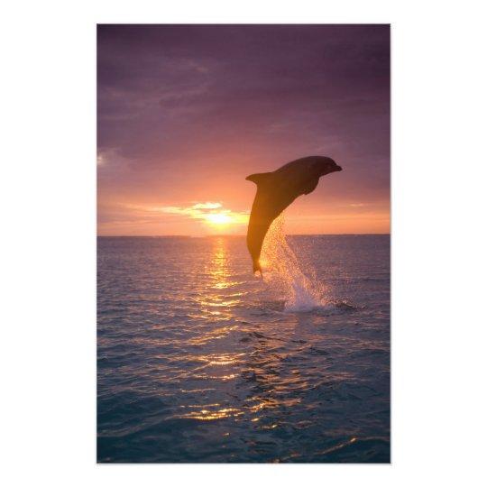 Bottlenose Dolphins Tursiops truncatus) 9 Photo Print