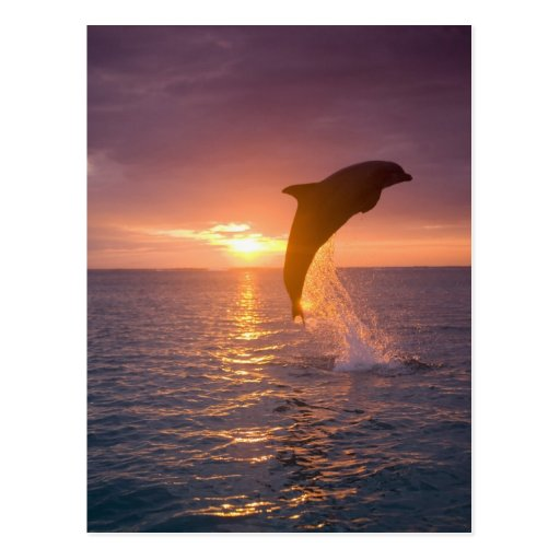 Bottlenose Dolphins Tursiops truncatus) 9 Postcard