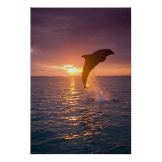 Bottlenose Dolphins Tursiops truncatus) 9 Poster