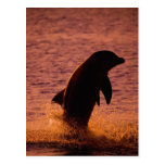 Bottlenose Dolphins Tursiops truncatus) Postcard