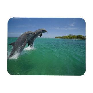 Bottlenose Dolphins Tursiops truncatus Magnet