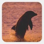 Bottlenose Dolphins Tursiops truncatus) Square Sticker