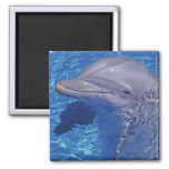 Bottlenosed Dolphin, Tursiops Truncatus Fridge Magnet
