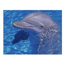 Bottlenosed Dolphin, Tursiops Truncatus Postcard