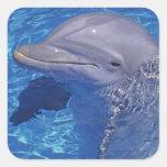 Bottlenosed Dolphin, Tursiops Truncatus Square Sticker