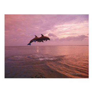 Bottlenosed Dolphins Jumping at Sunset Postcard