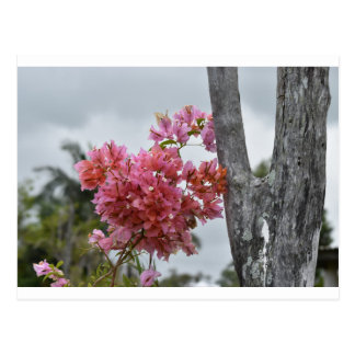 BOUGAINVILLEA PINK RURAL QUEENSLAND AUSTRALIA POSTCARD