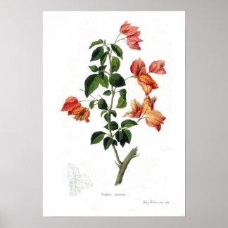 Bougainvillea spectabilis print